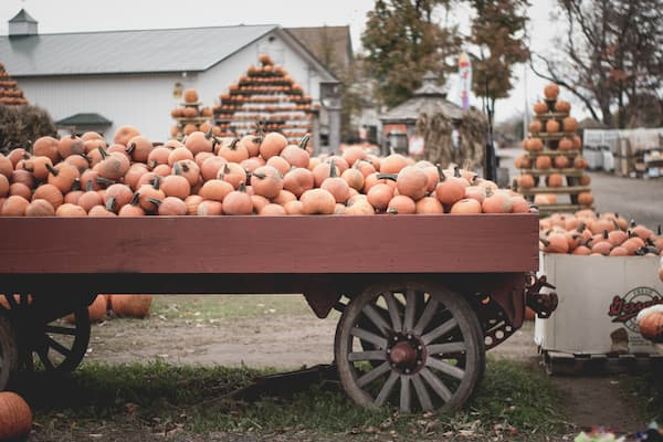 wagon with pumpkin at a pumpkin patch